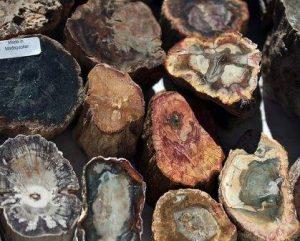 jamur pada kayu