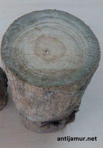 jamur blue stain pada kayu jati