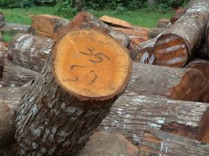 pengawetan kayu mahoni