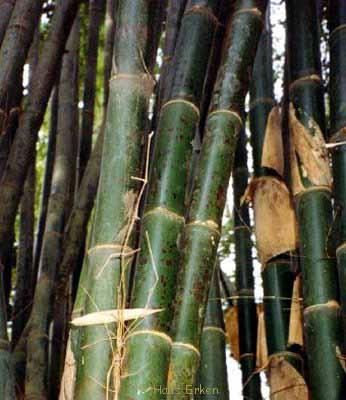 bambu yang bagus untuk furniture bambu tutul (2)