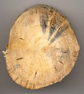 jamur blue stain kayu