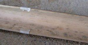 jenis jamur blue stain pada bambu