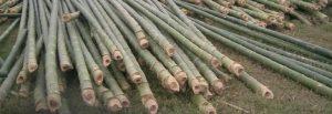 mencegah hama bambu