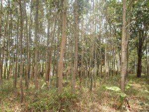 pengawetan kayu akasia
