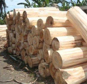 kayu-sengon