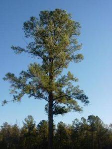pohon-pinus