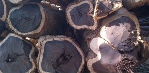 kayu-eboni-log