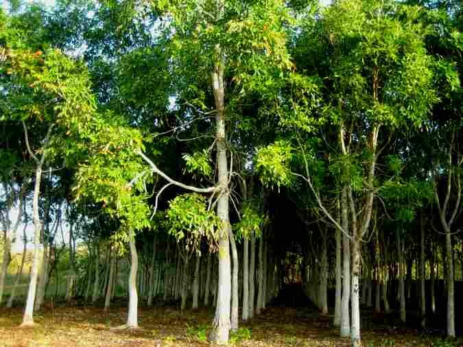 pohon-nyatoh