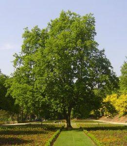 pohon-oak