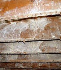 kerusakan-kayu-karena-jamur-permukaan