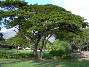 pohon-trembesi